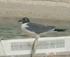 Laughing Gull, St. Vincent