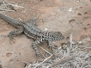 Small and well camouflaged, lava lizards are almost eveywhere. This is a male.