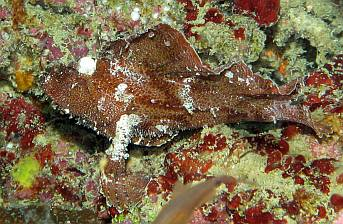 A Leaf Scorpionfish hides in rust-colored coral on a wreck.