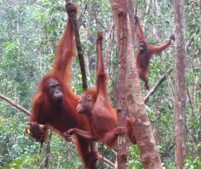 Orangutans at Camp Leaky, Kalimantan