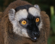 Intense stare of a Mayotte lemur.
