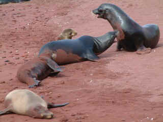 Two bull sea lions argue about just whose beach this is, and whose harem.
