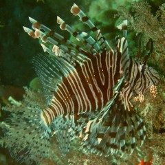 The beautiful Common Lionfish. Photo by Amanda Hacking