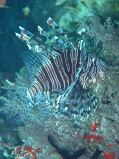 We've seen lots of lionfish in Indonesia