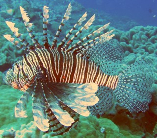 Lionfish were very common on the Tongan reefs