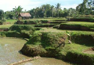 Lombok rice fields use original Dutch irrigation