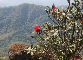 So Himalayan: R. arboreum in the Thai hills