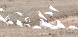 A flock of Long-billed Corellas feed on farmland, Victoria