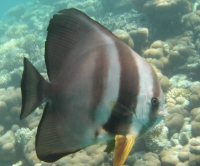 Longfin Spadefish hung out under Ocelot