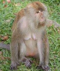 Female long-tailed macaque, Botanical Garden, Penang, Malaysia