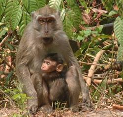 A Long-tailed Macaque and her infant