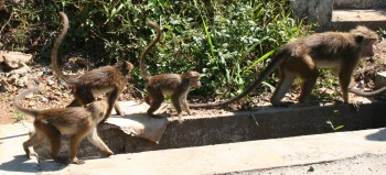 Macaque monkeys can be found most places