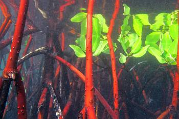 Mangroves shelter orbicular cardinalfish.  Find them?