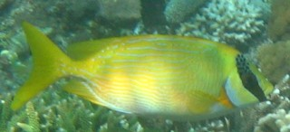 A Masked Rabbitfish