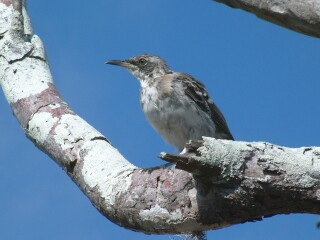 The Galapagos Mockingbird is commonly seen in the arid lowlands