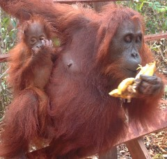 A mom and baby orangutan at Camp Leaky