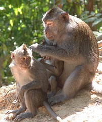 Grooming is a commmon activity for monkeys