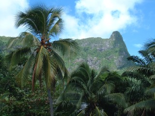 Coconut palms are found throughout the islands, and often at surprising elevations.