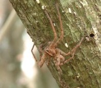 "An unidentified BIG spider on a ""mape"" tree in Moorea."