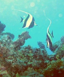 Moorish Idols are common sights among the corals of Fr. Polynesia