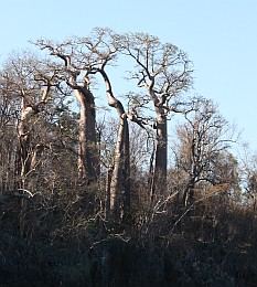 Forests of baobabs