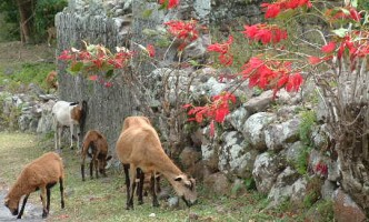 Goats in Nevis