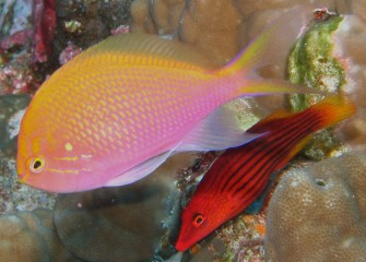 Tonga's coral is not real colorful, but makes a nice backdrop to the bright fish!