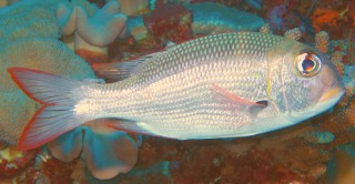 The Bigeye Bream or Emperor is a very variable species