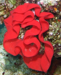 We have no ID on this brilliant red coral, or sponge seen at Mushrooms