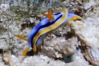 A chromodoris species of nudibranch, Bali