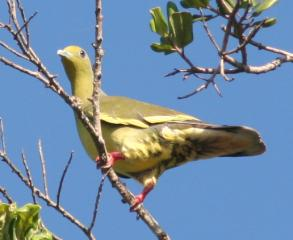 Female Orange Breasted Green Pigeon