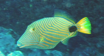 Orange Lined Triggerfish, Balistapus Undulntus