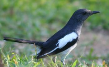 Oriental Magpie Robin, a common bird in Sri Lanka