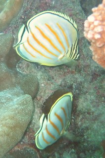 Ornate Butterfly fishes