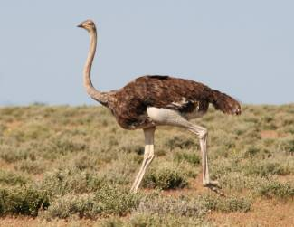 Don't be surprised to be raced by a wild ostrich! Namibia