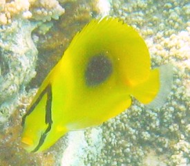Face-to-face with an oval spot butterflyfish in New Caleonia