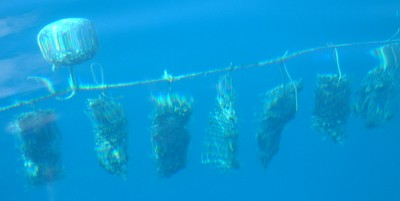 Nets of pearl oysters hang on long lines in the clear water.