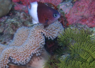 A Pacific Half&half Chromis and typical leather coral of Tonga