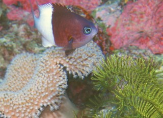 Pacific Half & Half Chromis floats over some LeatherCoral