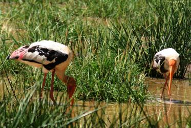 Two Painted Storks feeding in Yala National Park