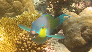 A very curious Palenose Parrotfish.  Amanda Hacking