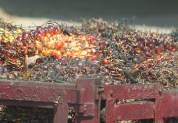Palm oil seeds in a truck en route to processing, Malaysia