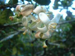 Fragrant flower of the pamplemouse (Tahitian grapefruit) tree.