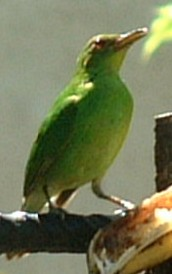 Unknown Panamanian bird. No larger photo available at this time