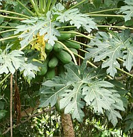 Papayas are everywhere in the tropics, it seems