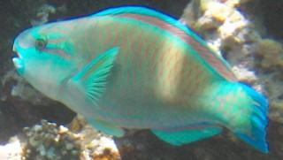 No ID Parrotfish