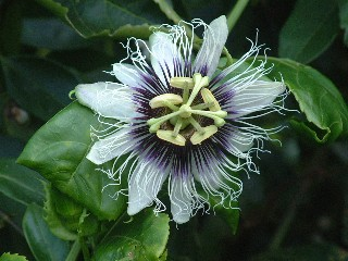 The Passion Flower is one of nature's intricate marvels.