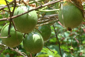 Passion fruit on the vine