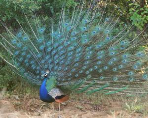 Male Peafowl, or Peacock, presenting