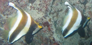 Pennant Bannerfish swimming in tandem.